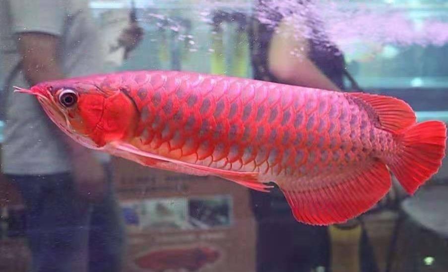 水族店红龙鱼扬色方法有哪些?
